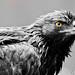 Eagle - The King by Viraj Nagar