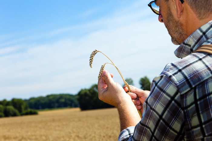 Farmer in wheat field inspecting wheat