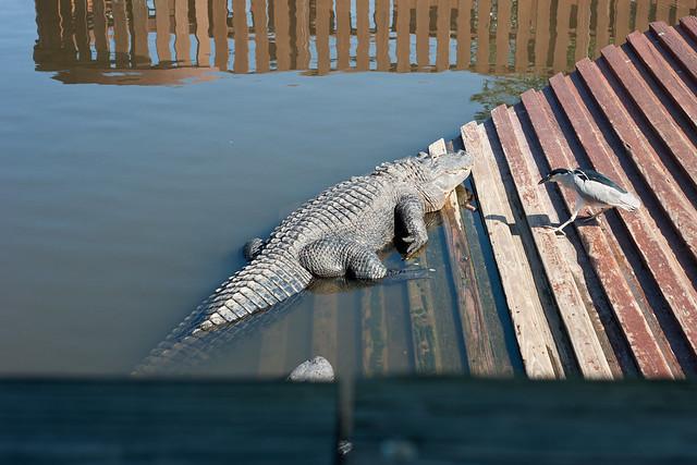 Gator4 (1 of 1)