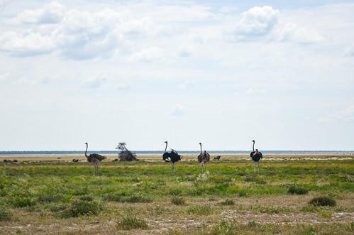 Ostriches, Etosha NP
