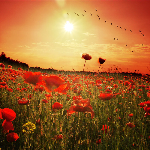 ~ poppy sunset ~