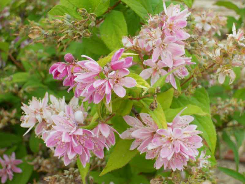 Deutzia lemoinei 'Mont Rose' 1