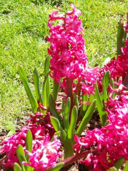 Hyacinthus v 3