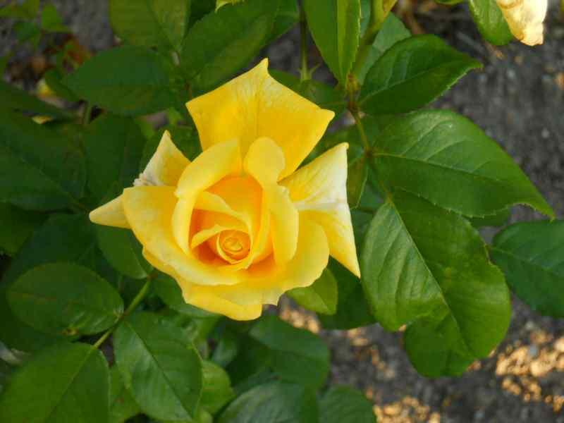 Rosa grandiflora 'Landora' 1