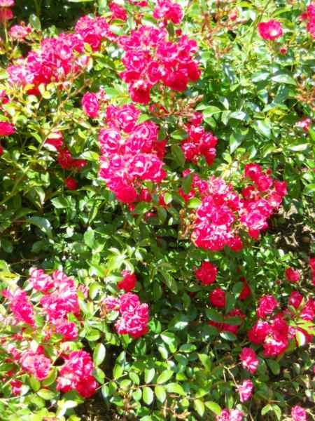 Rosal miniatura v 4
