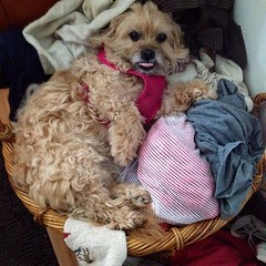 Found the pup sleeping in the dirty laundry.