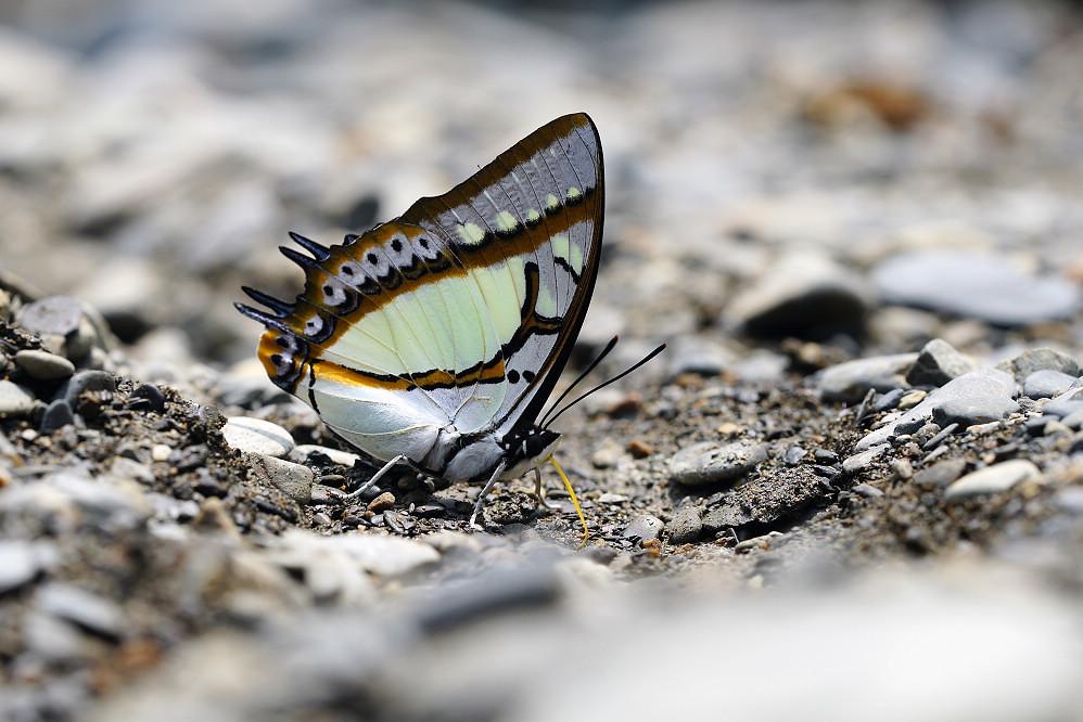 尾蛺蝶屬雙尾蛺蝶14S101