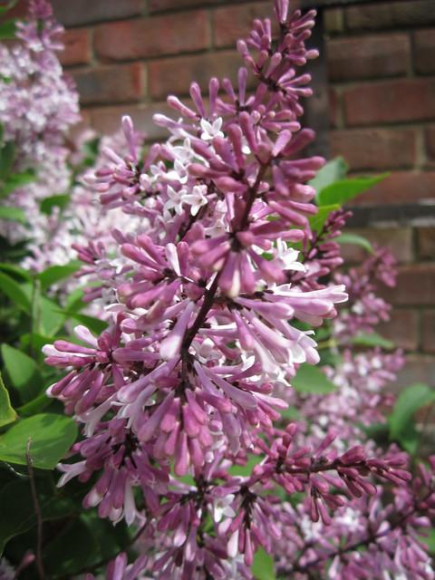 May garden 11.05 (5)