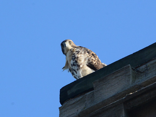 Cathedral Hawk Fledgling - 3145