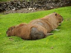 animal, grass, rodent, fauna, capybara, wildlife,