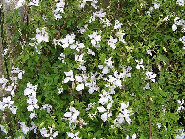 Clematis viticella 39 alba luxurians 39 renunculaceae for Auzouville sur ry jardin plume
