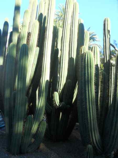 Ferocactus peninsulae v 2