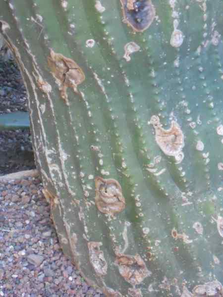 Neobuxbaumia polylopha v 1