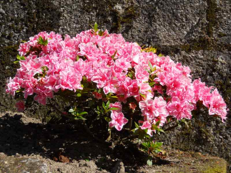 Rhododendron simsii 'De Waele's Favourite' 3