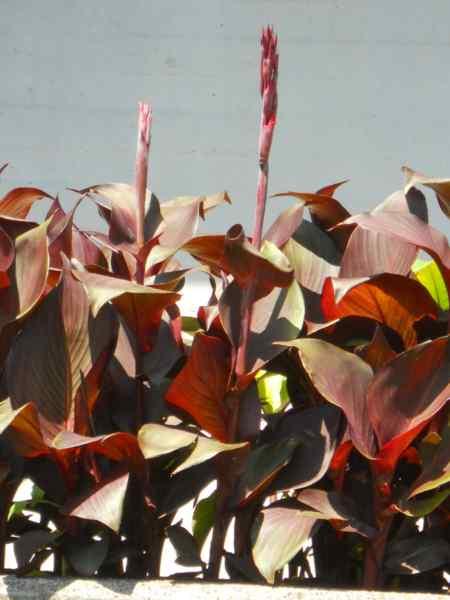 Canna indica-hybrida 'Hoja marron' v 4