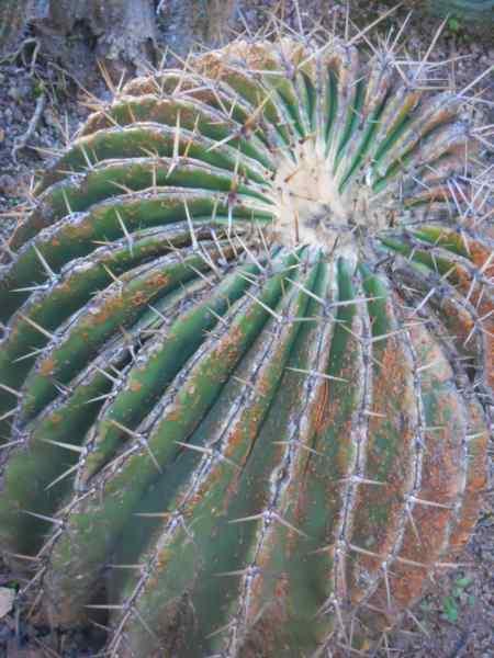 Echinocactus platyacanthus v 1
