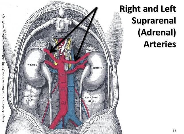 Adrenal artery anatomy