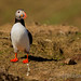AW9H4664 - Atlantic Puffin (Fratercula arctica)