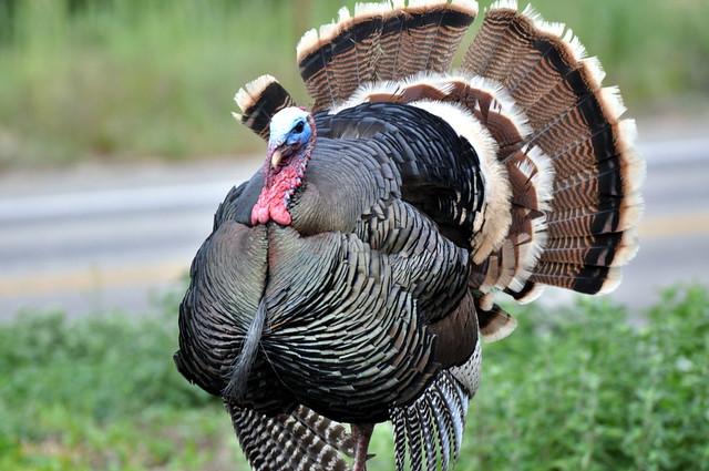 Boise Wild Turkey