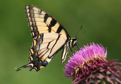 blue orange black yellow butterfly thistle northcarolina swallowtail richmondcounty papilioglaucus eyespot