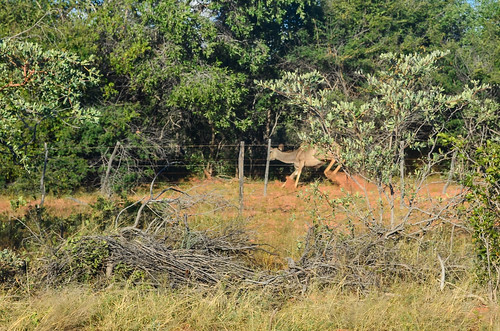 Scared kudu in the wild