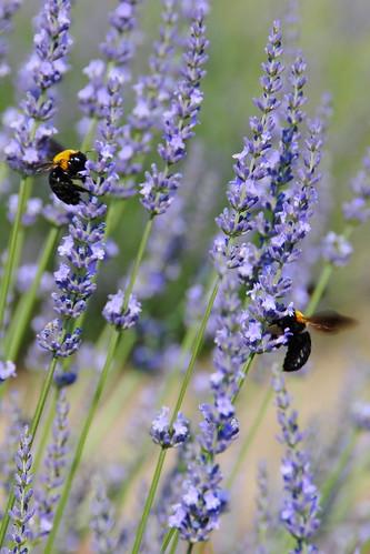 Lavender Festival 021r
