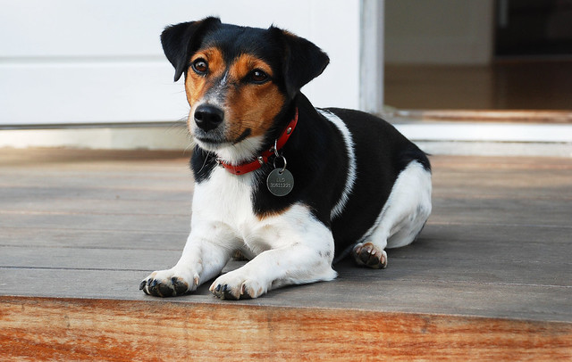 Jack Russell terrier on porch.