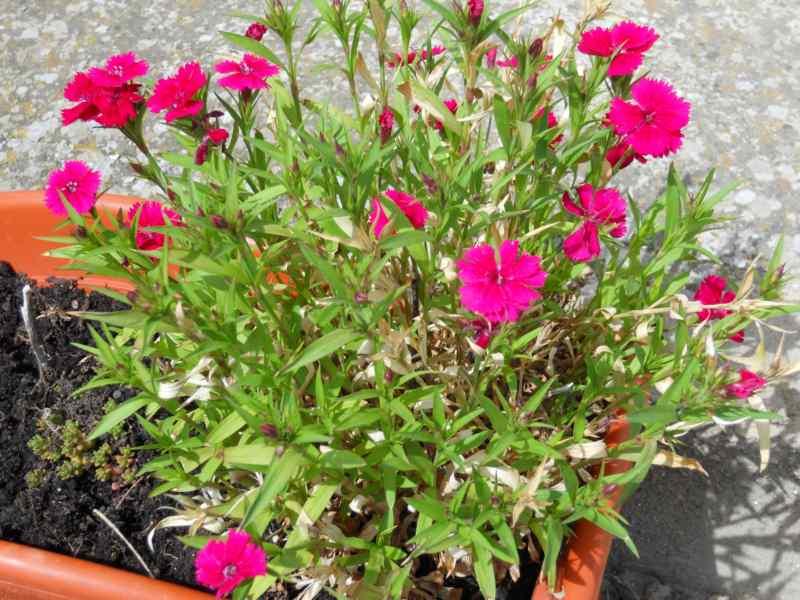 Dianthus grationapolitanus 1