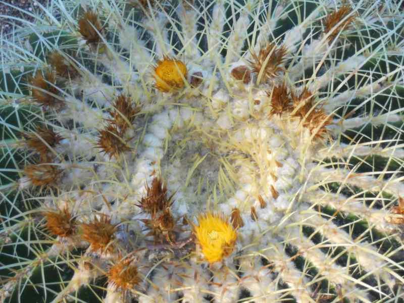 Echinocactus grusonii 'Grusonii' 3