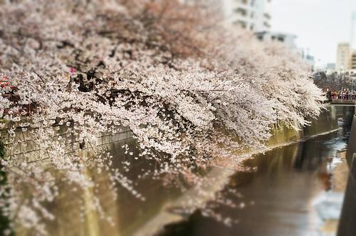 Megurogawa Sakura 03