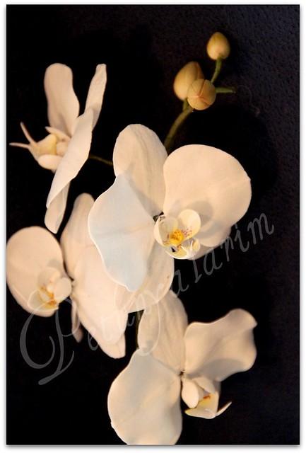 Phaleanopsis amabilis