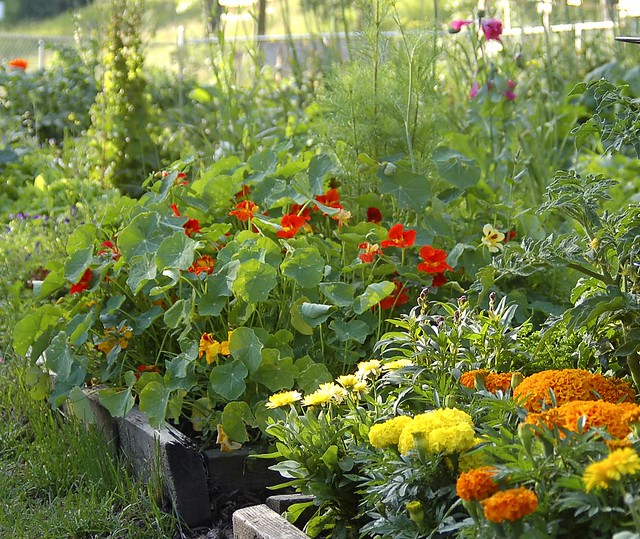 10 Ways To Style Your Very Own Vegetable Garden: Marigolds & Nasturtiums In Amongst The Veggies