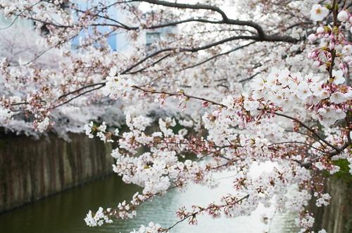 Megurogawa Sakura 14