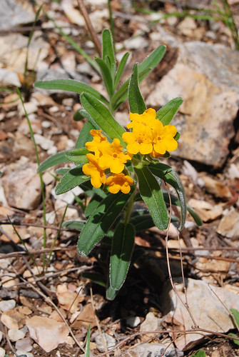 Hoary Puccoon, Lithospermum canescens