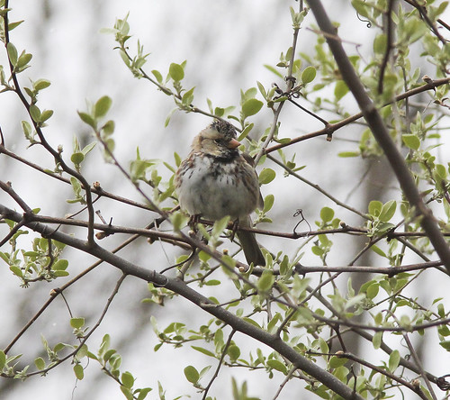 Harris's Sparrow, Muskegon SGA Headquarters, April 10 2012