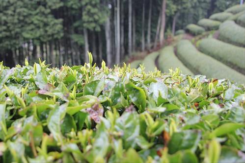 Teegarten Uji/Wazuka