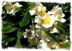 Just not Irish Wild Roses