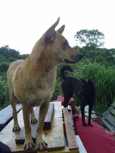 台灣流浪狗的問題十分嚴重,偏鄉最缺乏動物醫療資源。(攝影:林憶珊)