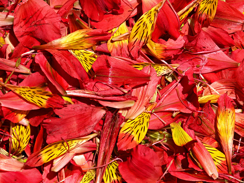 Petals for Corpus Christi Flower Carpets, La Orotava
