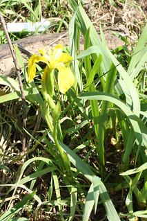 Yellow Iris plant