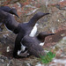 Breeding: Guillemots at Skomer Island. by ajay's visual~panorama©