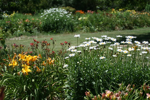daylilies and Daisy 'Becky'