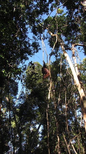 Hadir dari Atas Pepohonan