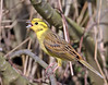 Yellowhammer by Roger H3