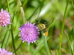 Narrow-bordered Bee Hawkmoth (Hemaris tityus)