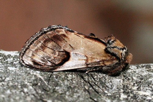 Pebble Prominent Notodonta ziczac Tophill Low NR, East Yorkshire May 2014