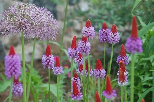 Primula vialii with allium #flower #garden
