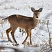 Small photo of Young Whitetail Deer Metamora, Michigan