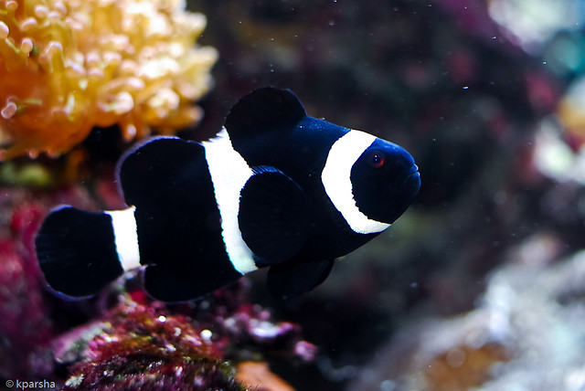 Black clown fish flickr photo sharing for Blue clown fish