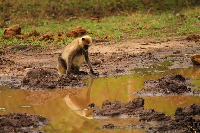 Gibón hoolock contemplando su reflejo - Parque Nacional Nagarhole - India